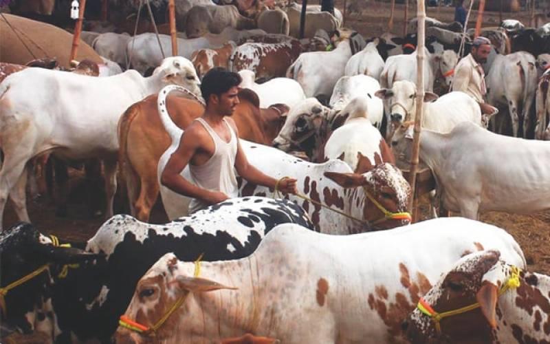عدالت کا عیدالاضحی پر مویشیوں کی قیمتیں کنٹرول کرنے کیلئے اہم اقدام