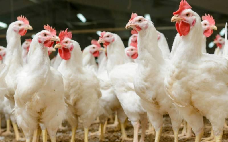 مرغی کاگوشت مزید سستا ہو گیا!!!!!جانئیے